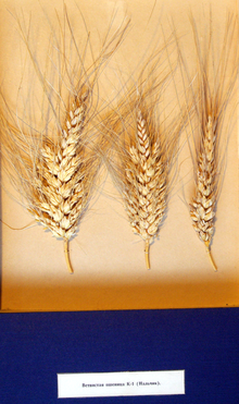 "Учебное пособие ""Ветвистая пшеница"""