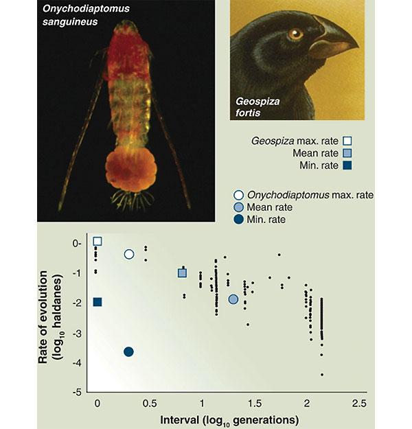 Скорость эволюции (в специальных единицах «холдейнах» — в честь британского ученого Холдейна) в зависимости от числа поколений в популяциях разных организмов. График взят из работы Hendry and Kinnison (1999. Evolution. V. 53. P. 1637), обобщивших большое количество данных по разным видам (мелкие черные точки на корреляционном поле), а на него нанесены данные, рассчитанные для вьюрка G. fortis (квадратики) и для веслоногого рачка O. sanguineus (кружочки). Для этих двух видов показаны: самая низкая, самая высокая и средняя скорость эволюции в расчёте на поколение для 30-летнего периода (вьюрки) и 10-летнего (веслоногий рачок). Видно, что средние значения хорошо ложатся на выведенную ранее зависимость (чем короче рассматривается интервал, тем быстрее происходит эволюция), но минимальные и максимальные значения показывают огромный реальный разброс данных. Из обсуждаемой статьи T. Schoener в Science (исходный график из работы Hairston et al. 2005)