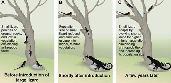 Схема экспериментального исследования, выявляющего эко-эволюционную динамику у ящериц Карибских островов. (A) До вселения на остров крупной хищной ящерицы Leiocephalus carinatus мелкая ящерица анолис Anolis sagrei держалась как на поверхности земли, так и на нижних ветвях деревьях. (B) Сразу после вселения L. carinatus численность анолисов существенно сократилась, и они стали держаться на более высоко расположенных тонких ветках, куда не мог добраться хищник. (C) Спустя несколько лет мы видим результат быстрой эволюции A. sagrei, которая могла быть ускорена прессом хищника. У анолисов стали короче ноги, и они смогли осваивать большее пространство кроны. Численность их при этом возросла. По данным: S. Y. Strauss, J. A. Lau, T. W. Schoener, P. Tiffin. Evolution in ecological field experiments: Implications for effect size // Ecol. Lett. V. 11. P. 199 (2008). Из обсуждаемой статьи T. Schoener в Science