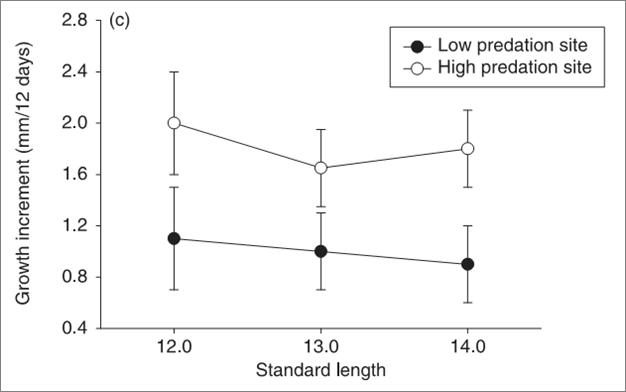 Скорость роста рыбок разного окончательного размера в популяциях с высоким и низким риском хищничества