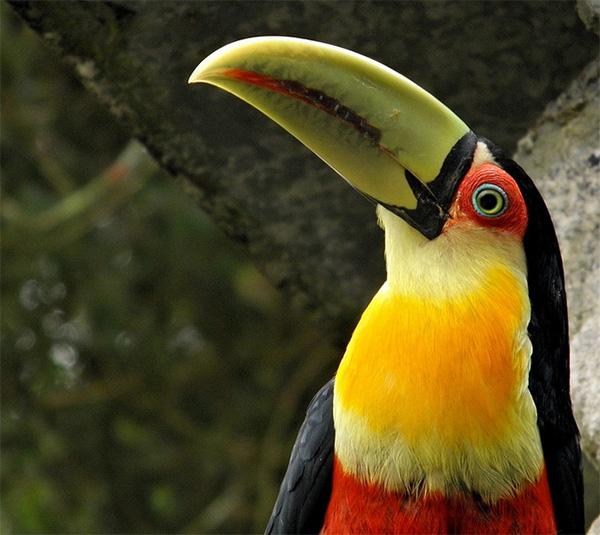 Тукан Ramphastos dicolorus, способный потреблять крупные плоды пальмы E. edulis, сохранился только в немногих ненарушенных местообитаниях. Фото Ricardo Venerando с сайта www.flickr.com/photos/venerando/6006399811