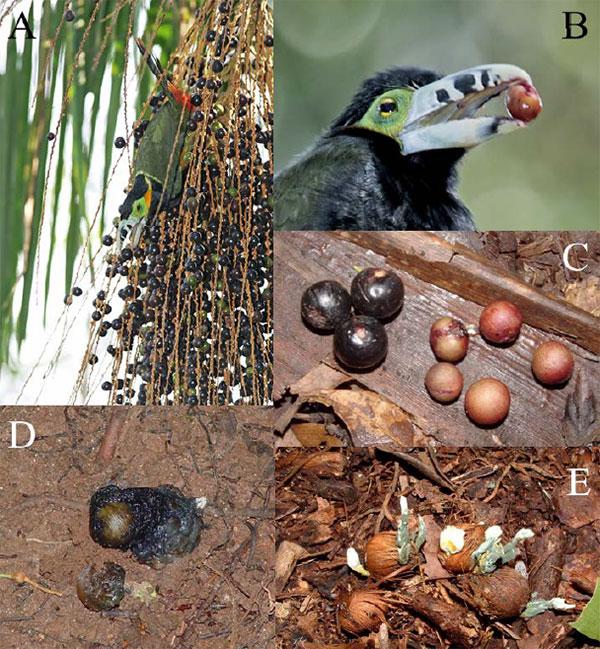 A — плоды пальмы Euterpe edulis. B — туканет Selenidera maculirostris с семенем пальмы в клюве. Поедая мякоть плода, птицы отрыгивают семена (в некоторых случаях они проходят через кишечник). C — на земле видны отрыгнутые семена и плоды, которые не удалось унести (заметны следы от клюва птиц с небольшой глоткой). D — семена в экскрементах птиц (Penelope superciliaris). E — упавшие плоды и семена подвергаются воздействию патогенных грибов, а также поедаются животными. Фотографии разных авторов, смонтированные воедино, из дополнительных материалов к обсуждаемой статье в Science