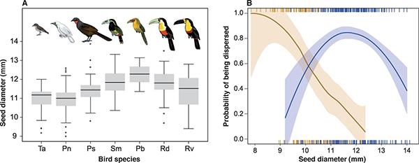 A — диапазон размеров семян пальмы E. edulis, потребляемых разными видами птиц. Горизонтальной чертой в каждом случае показано среднее значение, границы серого прямоугольника («ящика») определяются как среднее ±1 стандартная ошибка (standard error, SE), а 95-процентные доверительные интервалы задаются вертикальными линиями («усами»). Черные точки («выбросы», outliers) — единичные находки, не попадающие в границы доверительного интервала. Данные приведены для птиц, являющихся основными потребителями плодов E. edulis. Расшифровка названий птиц (слева направо): Ta — Turdus albicollis, Pn — Procnias nudicollis, Ps — Penelope superciliaris, Sm — Selenidera maculirostris, Pb — Pteroglossus bailloni, Rd — Ramphastos dicolorus, Rv — Ramphastos vitellinus. B — вероятность распространения птицами семян разного размера (по горизонтальной оси — диаметр семени в мм). Коричневая кривая — нарушенные местообитания (нет потребителей крупных семян). Синяя кривая — ненарушенные местообитания (есть птицы, поедающие крупные плоды). Из обсуждаемой статьи в Science
