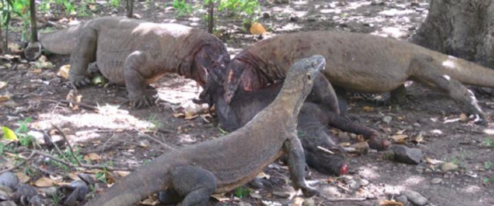Пищевая экология комодского варана исторически стала объектом многочисленных заблуждений, во многом связанных с предвзятым отношением к «рептилиям» со стороны наиболее ...