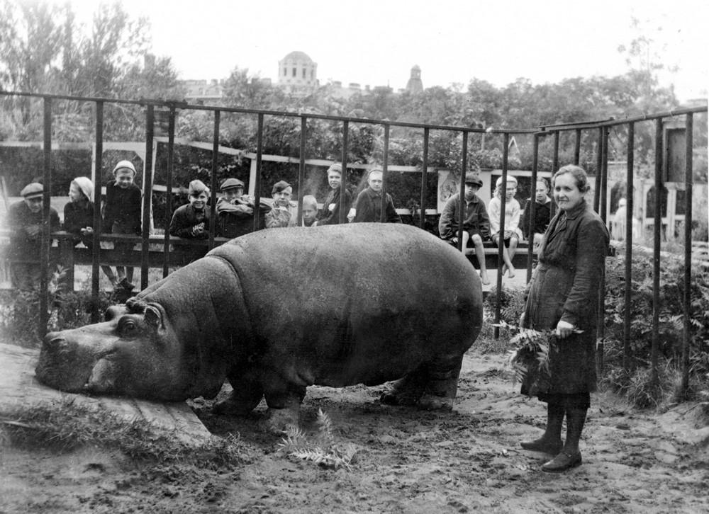 Бегемот Красавица и служительница зоосада Е. И. Дашина, фото 1943 года.