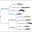 В чем же заключается усложнение и уникальность кровеносной системы крокодилов? Несмотря на их четырехкамерные сердца с полностью разделенными желудочками, у крокодилов может происходить шунтирование в обход легких. Но в отличие от неархозавровых рептилии, у ...
