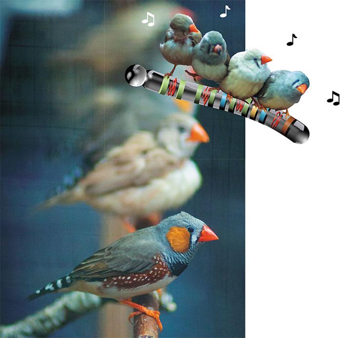 Зебровая амадина — это певчая птица из семейства австралийских вьюрковых ткачиков. Она уже давно стала лабораторной моделью для исследования физиологии и поведения птиц и самым обычным обитателем зооуголков и зоомагазинов. Фото М. Кулешина