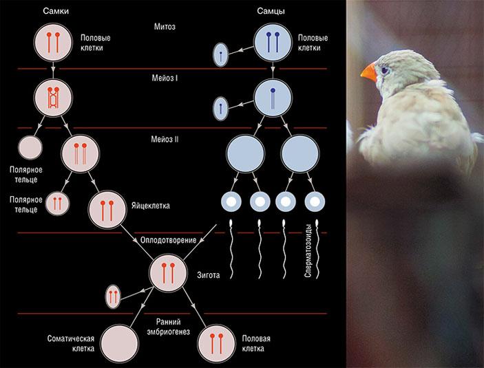 Альтернативное объяснение наличия ХПК в половых клетках птиц. И самцы, и самки наследуют либо одну, либо две копии ХПК от матери. Самки, которые унаследовали две копии, несут их до конца и передают своим потомкам. Самцы, получившие от матери две копии, часто теряют одну из них в ряду клеточных поколений. Вторую они теряют уже в первом делении мейоза