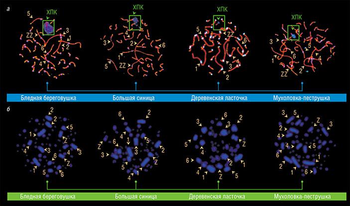 ХПК обнаружена в сперматоцитах бледной береговушки, большой синицы, деревенской ласточки и мухоловки-пеструшки (а), но в клетках костного мозга этих птиц она отсутствует (б). В отличие от самок, у самцов не имеет пары и окружена синим облаком антицентромерных антител. Цифрами обозначены макрохромосомы в порядке уменьшения размера, буквами Z и W — половые хромосомы. Фото Л. Малиновской и И. Пристяжнюк