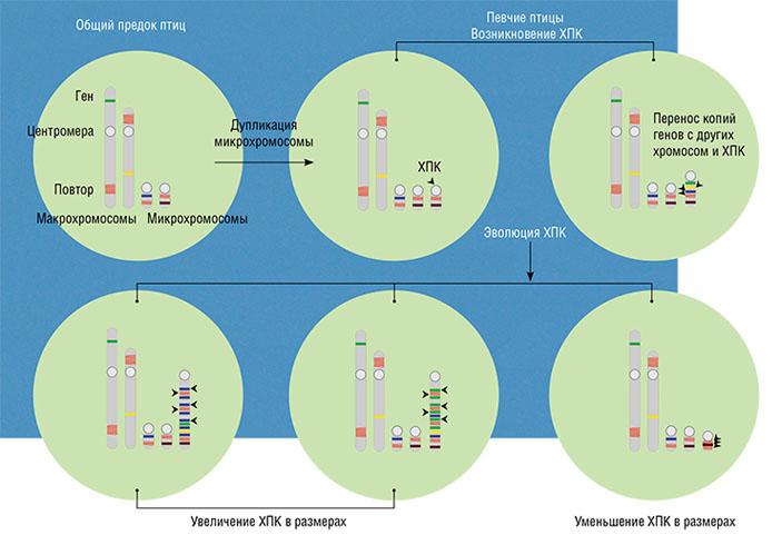 Наш сценарий возникновения и эволюции ХПК. Мы полагаем, что она появилась у общего предка в результате дупликации одной из микрохромосом. В ней случайно оказались гены, полезные для развития и функции половых клеток, и эта мутация была подхвачена естественным отбором. Затем в нее переносились копии различных генов и повторенных последовательностей ДНК с других хромосом и самой ХПК (разные в разных филогенетических линиях), и она увеличивалась в размерах. В некоторых линиях увеличения не происходило, или оно поворачивало вспять за счет делеций (потерь)