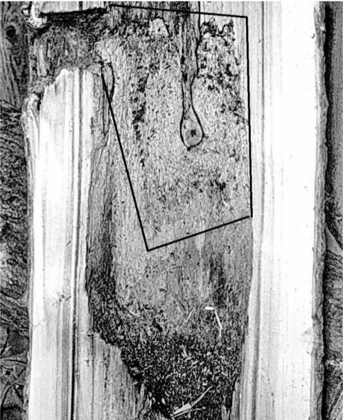 Рис. 17. Вертикальный распил через гнездовое дупло большого пёстрого дятла. Псковская область, верховья реки Псковы, 1981 год. Фото автора.