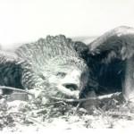 «Орлы острова Ольхон» — пример деградации заповедной науки и экопросвещения