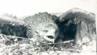 """""""Я начал изучать хищных птиц Предбайкалья в конце 1970-х, наблюдения на байкальском острове Ольхон проводил еще в 1981-1983, а с 1996 они стали ежегодными. В 1995 - 2012 гг. работал в..."""