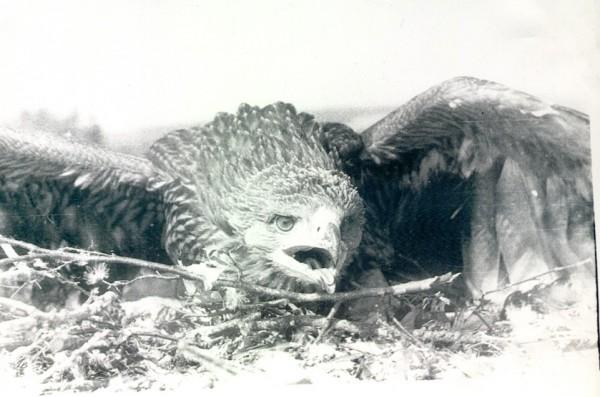 Первое найденное мною гнездо орла-могильника. 1978 г.