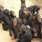 Про крики во время секса у шимпанзе