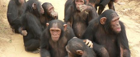 """Социобиологическое объяснение, почему самки шимпанзе кричат во время секса (мол, вопит, чтобы монополизировать самца и снизить конкуренцию со стороны прочих самок, а также """"объявить"""" о своей фертильности прочим самцам, чтобы они все спарились с ней, и в ней происходила конкуренция спермы, с..."""