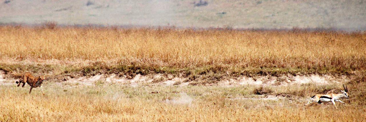 Гепард преследует газель Томпсона в Нгороро