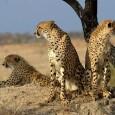 В отличие от многих других видов кошачьих, гепарды социальны не менее, чем львы, тем более в группе жить легче и выгодней. Но полному проявлению социальности в природе мешает пресс хищничества со стороны львов, леопардов и гиен, перед которыми группы более уязвимы, они убивают детёнышей, а то и взрослых.