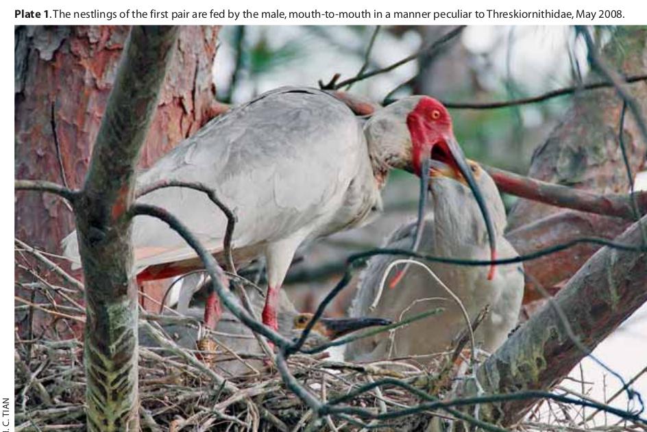 Красноногий ибис кормит птенца