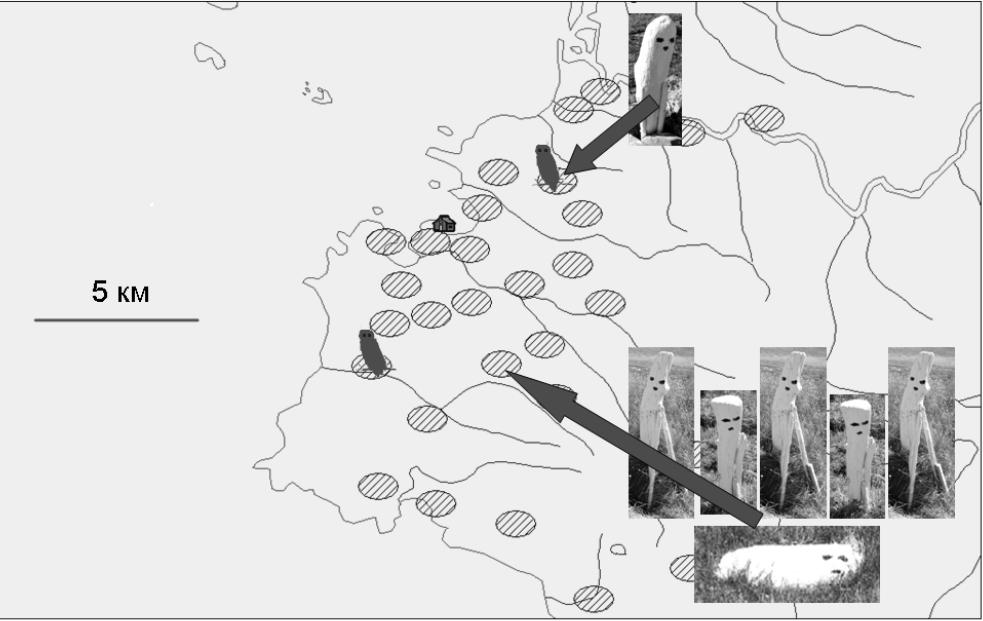 Рис. 1. Расположение территориальных ячеек, в которых загнездились белые совы в 2016 г.: заштрихованные овалы – многолетние территориальные ячейки белых сов (объяснение в тексте), фото – выставленные в двух ячейках макеты (ячейки указаны стрелками). Силуэты сов – места гнездования двух пар белых сов.