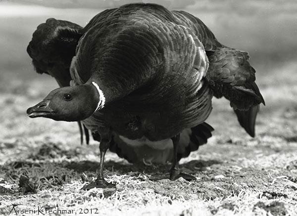 Гусак чёрной казарки (Branta bernicla nigricans) защищает гнездо. Остров Врангеля, среднее течение реки Тундровая, начало июля 1970 г.