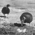 Основная задача данного сообщения – описать выделенные, или классифицированные, автором три стратегии принятия птицами решения и том, гнездиться в данном месте или нет. На основании ...