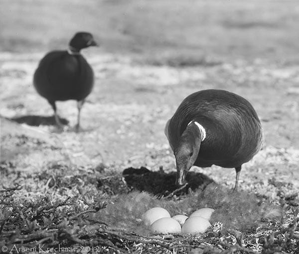 Пара чёрных казарок (Branta bernicla nigricans) рядом с гнездом. Остров Врангеля, среднее течение реки Тундровая, начало июля 1970 г.