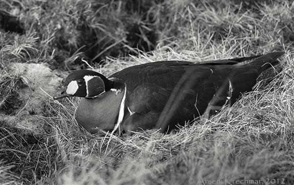 Краснозобая казарка (Branta ruficollis) на гнезде. Западный Таймыр, Первое Пуринское озеро, июль 1963 г.