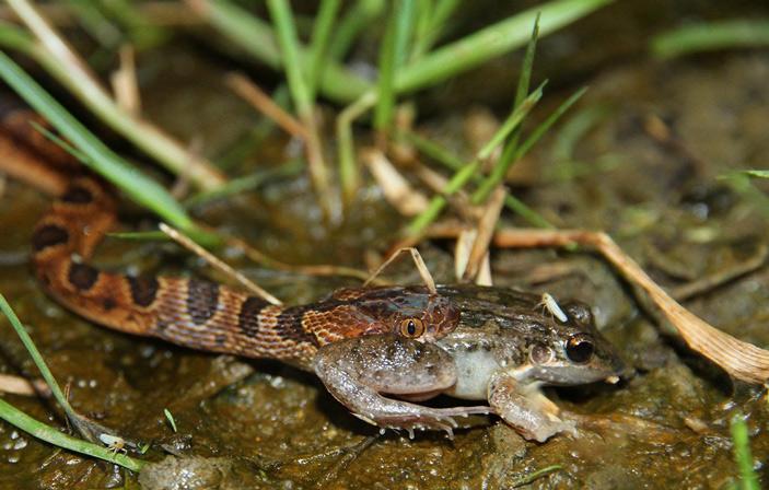 Рис. 1. Трансамериканский кошачьеглазый уж (Leptodeira septentrionalis) поедает лягушку. Этот вид оказался очень чувствительным к падению численности бесхвостых амфибий в результате вспышки хитридиомикоза. После эпизоотии в панамском национальном парке «Омар Торрихос» этот вид стал встречаться втрое реже, однако физическое состояние выживших особей при этом улучшилось. Фото с сайта flickr.com