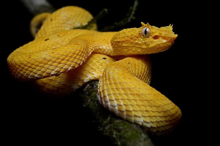 Рис. 6. Цепкохвостый ботропс (Bothriechis schlegelii) — один из немногих видов змей на исследованной территории, выигравших от вспышки хитридиомикоза. До нее он встретился ученым лишь 3 раза, а после — 32. Этот вид охотится на различную добычу от лягушек до птиц и грызунов, так что, возможно, он смог увеличить численность после сокращения численности более разборчивых в еде конкурентов. Фото с сайта en.wikipedia.org