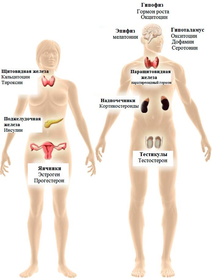 Рисунок 3. Модель эндокринных систем, являющихся мишенью эндокринных разрушителей. Их действию подвержены все основные эндокринные органы, в том числе гипоталамо-гипофизарная ось, надпочечники, репродуктивные органы, поджелудочная железа и эпифиз. Источник [6]