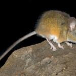 Эпигенетическое программирование фенотипических различий в поведении и эволюция социальности у грызунов