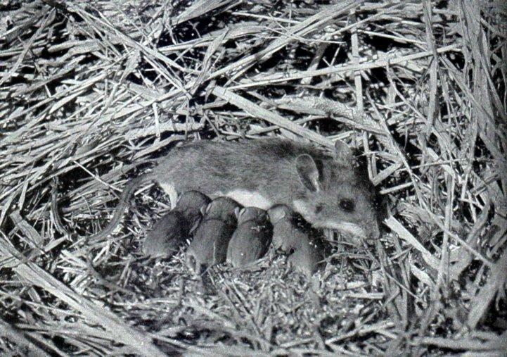 Самка белоногого хомячка с детёнышами