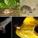 Курносые древесные лягушки защищаются от хищников слуховыми иллюзиями