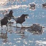 «Разумная предусмотрительность» и другие особенности поведения врановых