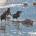 """Обсуждается интеллект и рассудочная деятельность врановых, описываются исследования их в природе и лаборатории, приведены интересные наблюдения за """"достижениями"""" отдельных особей в этом плане"""