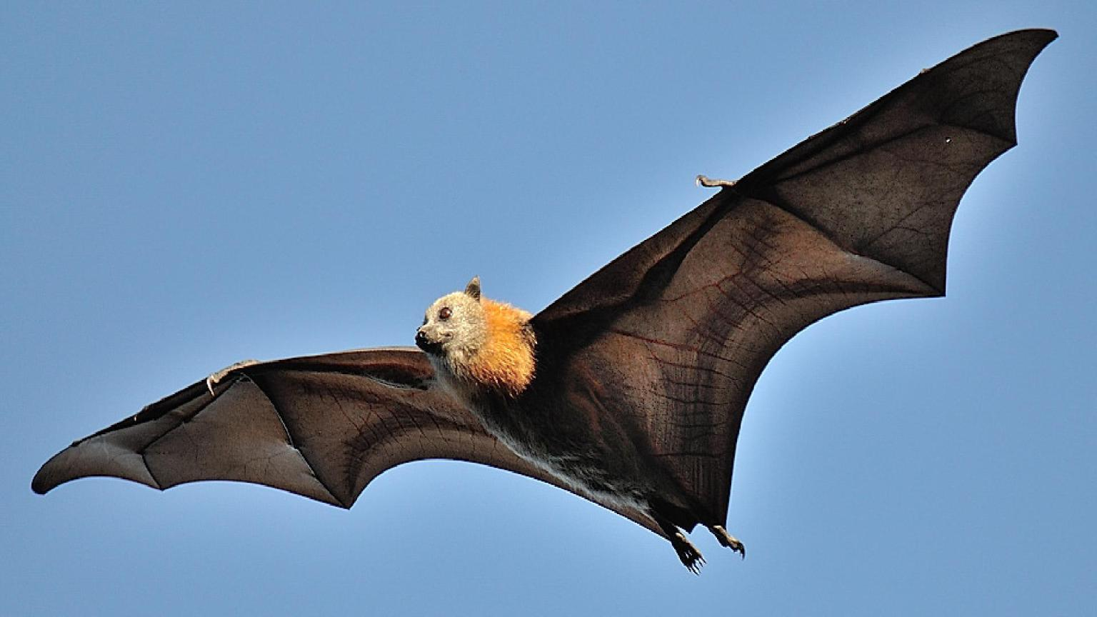 1920x1080-Grey-Headed-Flying-Fox-Size