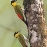 Острова в море возможностей: что определяет темпы и направления эволюции каротиноидной окраски у птиц?