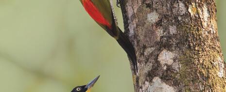 Бόльшая часть пигментации оперения птиц производится каротиноидами – органическими пигментами, которые птицы сами синтезировать не могут, а потребляют с едой. Соответственно,...
