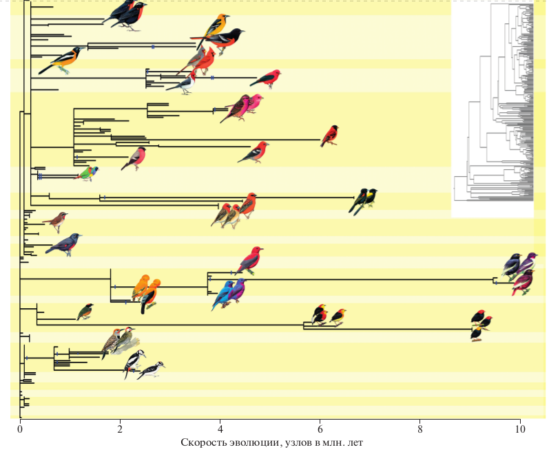 Рис. 5. Интернализация контроля обеспечивает диверсификацию каротиноидной окраски. Ветви ультраметрического филогенетического дерева 384 видов (вставка), умноженные на скорость эволюции (узлов за млн. лет), после чего длина большинство ветвей становится близкой к нулю. Однако обретение внутреннего контроля (вертикальный штрих) ассоциируется со значительным ускорением эволюции (удлинением ветвей) и диверсификацией. Фон разделяет таксономические семейства.