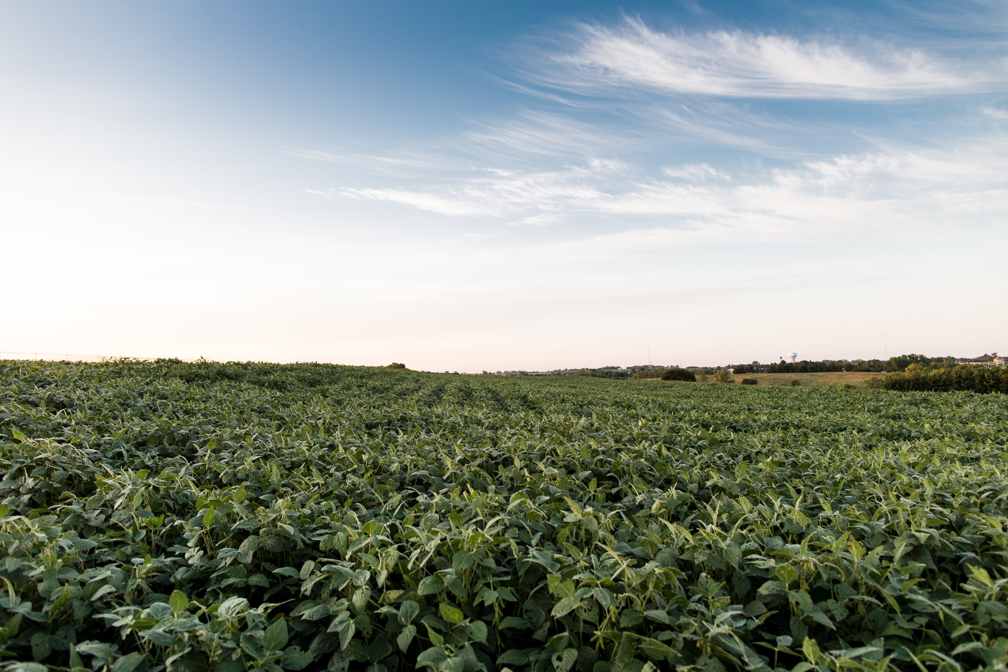 Soybeans growing in a field outside Lincoln, Nebraska, one of many crops whose nutrient content is shifting as a result of rising carbon dioxide levels