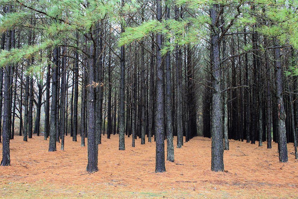 """Коммерческий сосновый лес в США. Для обычных растений и животных сосняков это не местообитание, а такая же """"пустыня"""", как застройка"""