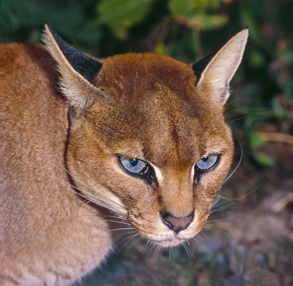 Африканская золотая кошка (каракал) https://en.wikipedia.org/wiki/African_golden_cat