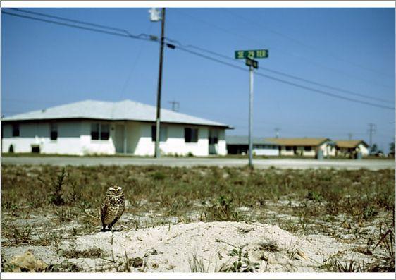 Burrowing Owl nesting in Housing Development - SW FL (Athene cunicularia) Feb