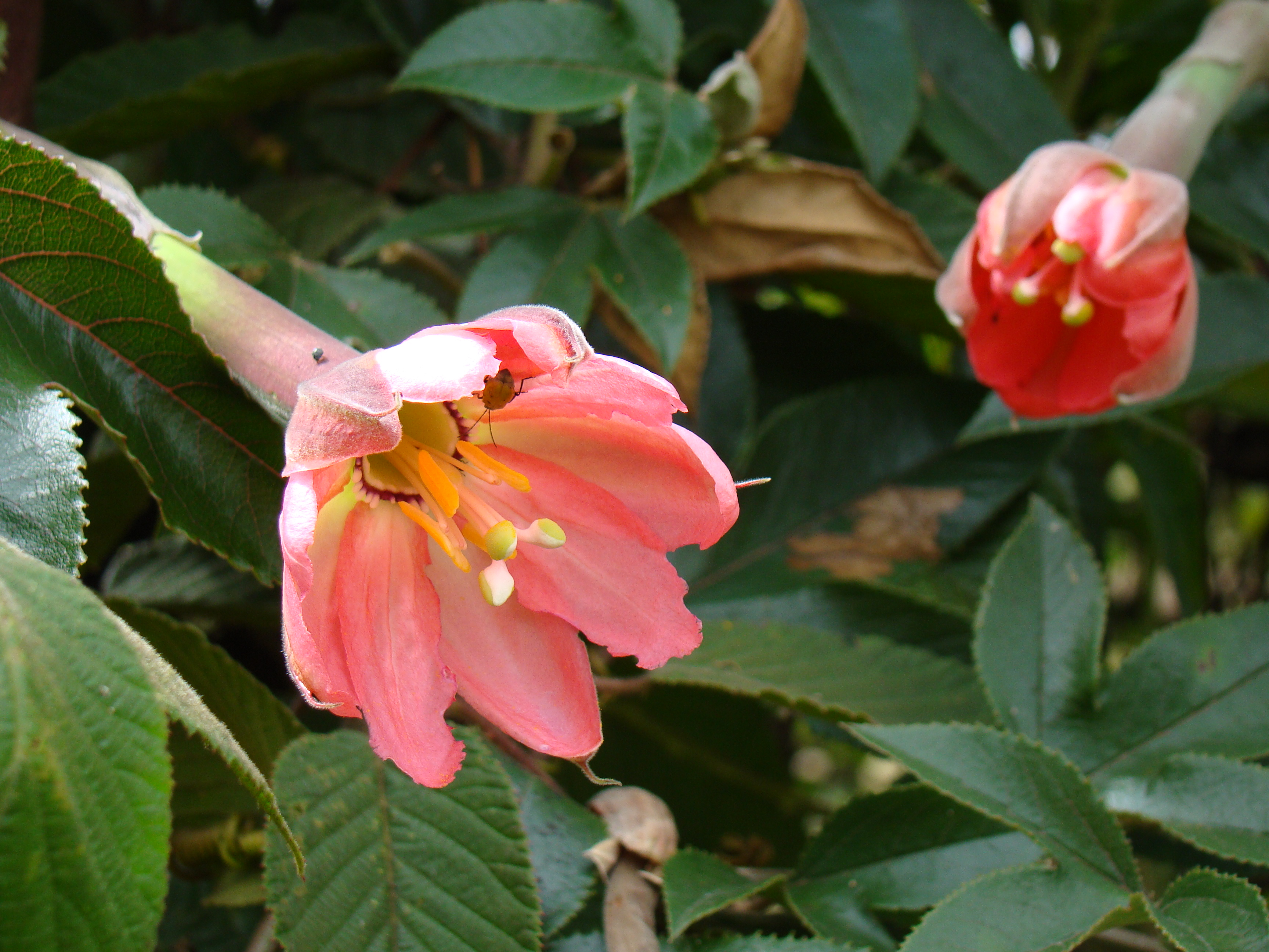 Passiflora molissimа