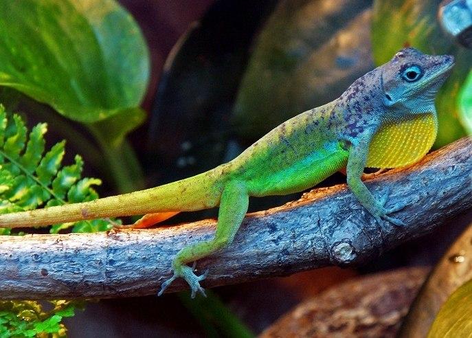 Барбадосский анолис (Anolis extremus). Эндемик о-вов Барбадос, ныне вселён на ряд других островов Карибского моря, в т.ч. на Бермуды и Тринидад. В местах инвазий вытесняет местные виды ящериц с похожим образом жизни.