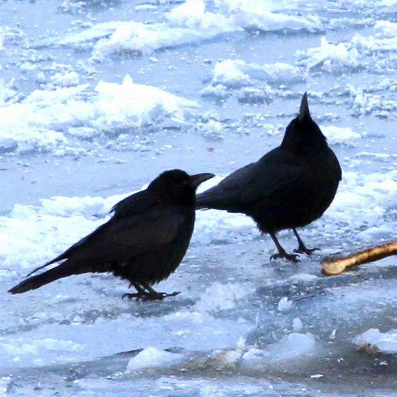 Чёрные вороны в Иркутске,  Источник: «Иркутск глазами птиц, птицы глазами Иркутска»
