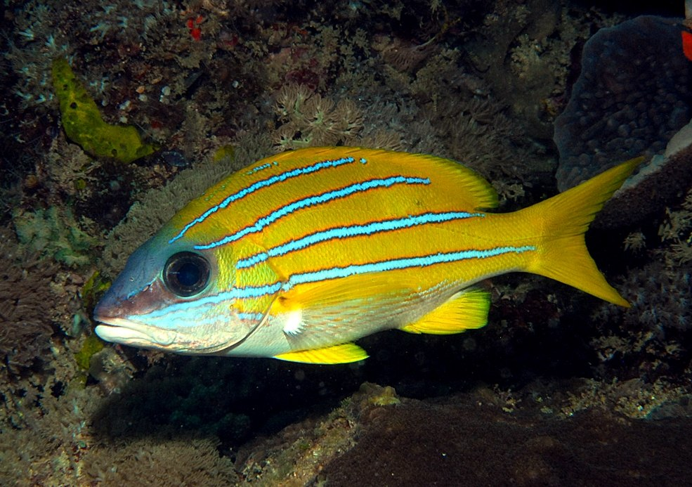 Кашмирский луциан (Lutjanus kasmira). Широко распространён в тропиках Индо-Пацифики; в XX веке вселился на Гавайи, где стал активно вытеснять местные виды рыб коралловых рифов.