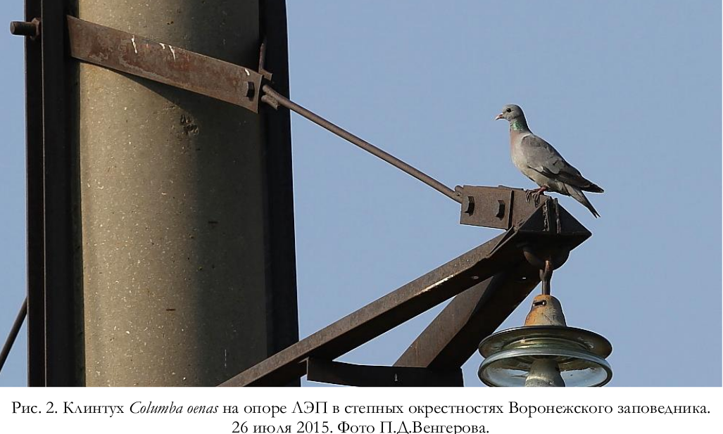 Клинтухи, гнездящиеся в открытом ландшафте на ЛЭП. Источник Соколов, 2017.