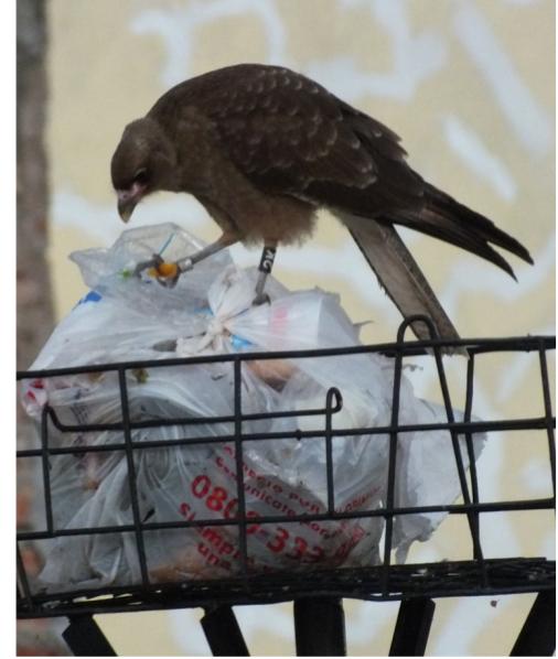 Меченый чиманго ищет корм в выброшенном мусоре в г.Санта-Роза, Аргентина (Solare, Sarasola, 2019)